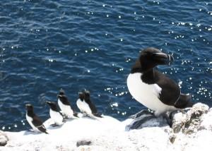 Petits pingouins dans l'archipel des Sept Îles © Raphael Chouinard / Tourisme Sept-Îles