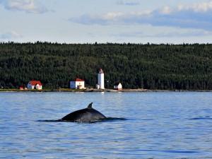 Baleine près du phare de l'Île Verte ©
