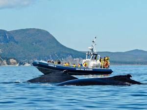 Observation des baleines dans la baie de Gaspé https://www.facebook.com ©