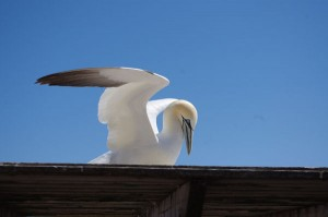 A northern gannet perched on the roof of a shelter near the observation site © Le Québec maritime