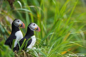Atlantic Puffin Mingan