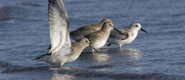 L'observation d'oiseaux en Côte-Nord – Manicouagan