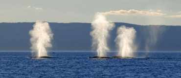 Why Is the St. Lawrence an Ideal Place to See Whales?