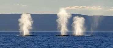 Que font les baleines dans le Saint-Laurent?