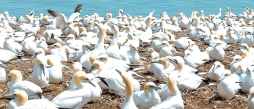 Bonaventure Island's Northern Gannet Colony: A Breathtaking Site!