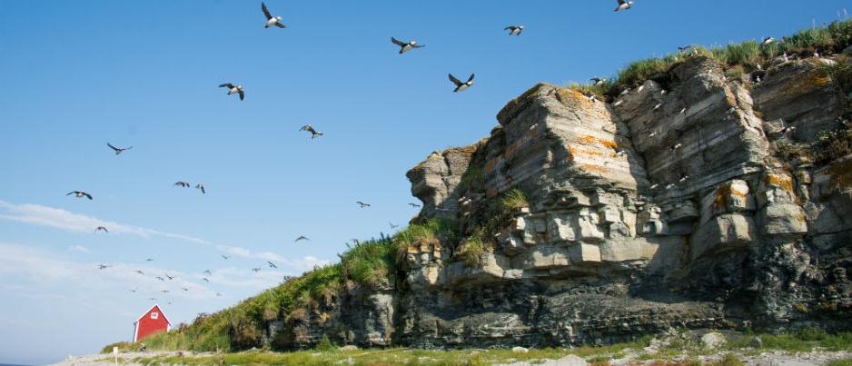 Seabirds: 4 Species to Watch in Eastern Québec