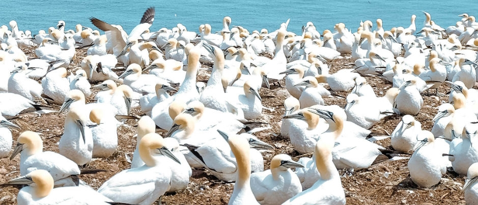 Les fous de Bassan de l'île Bonaventure : un spectacle époustouflant!