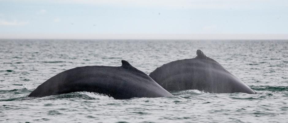 L'automne, une saison de choix pour l'observation des baleines!