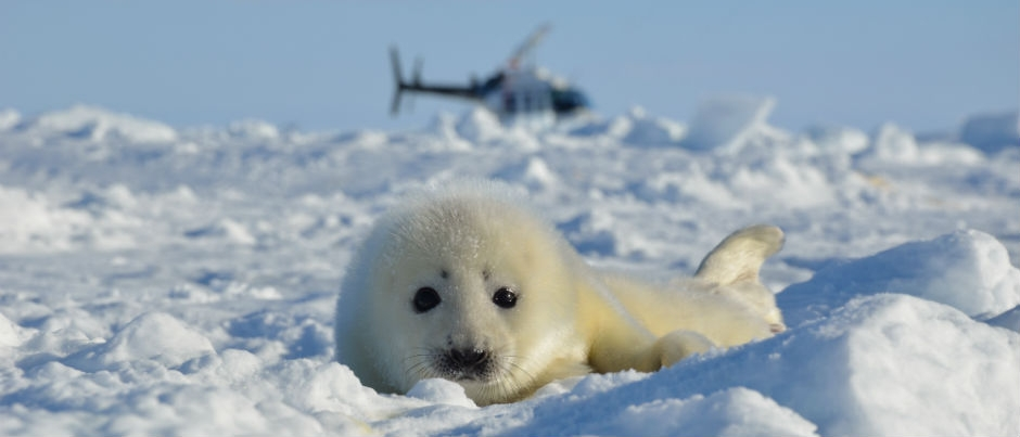 What You Need to Know about Whitecoats (Seal Pups)