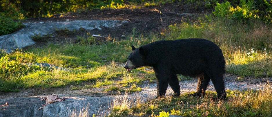 À la rencontre de l'ours noir