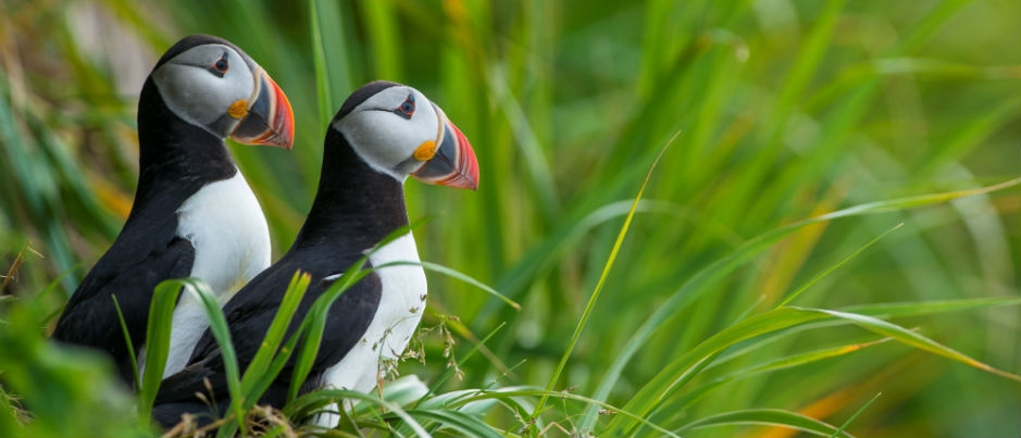 What Do You Know about Atlantic Puffins?