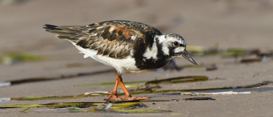 Ornithologie aux Îles de la Madeleine : de belles observations à faire en automne