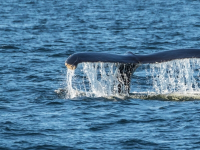 Zodiac Whale-Watching Excursion (2.5 hrs) and Black Bear Observation Passport