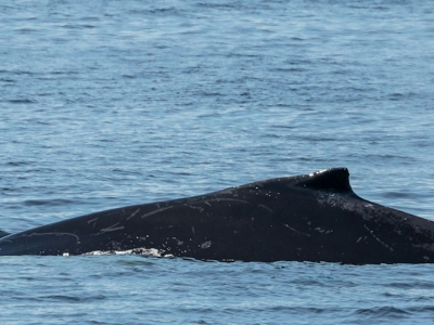 Zodiac Whale-Watching Excursion (2.5 hrs), Sea Kayaking, ATV and Black Bear Observation Passport