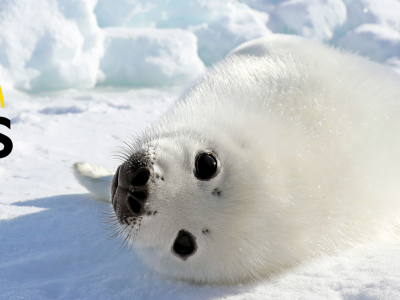 Winter Adventure and Harp Seal Watching