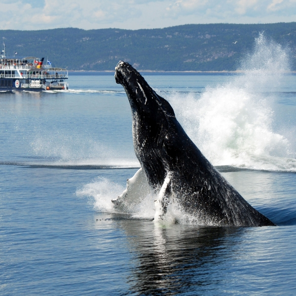 Whale Watching And Whale Observation Qu 233 Bec Maritime