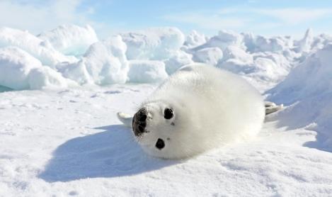 Harp Seal Watching