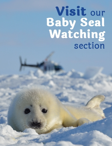 Baby Seal Watching